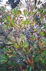 Northern Bayberry (Myrica pensylvanica) at Frisella Nursery