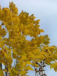 Golden Candle Golden Rain Tree (Koelreuteria paniculata 'Gocanzam') at Frisella Nursery