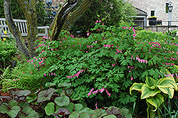 Common Bleeding Heart (Dicentra spectabilis) at Frisella Nursery