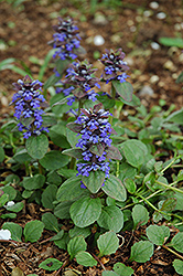 Caitlin's Giant Bugleweed (Ajuga reptans 'Caitlin's Giant') at Frisella Nursery