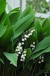 Lily-Of-The-Valley (Convallaria majalis) at Frisella Nursery