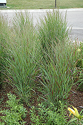 Shenandoah Reed Switch Grass (Panicum virgatum 'Shenandoah') at Frisella Nursery