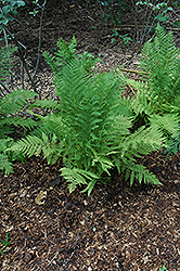 Lady Fern (Athyrium filix-femina) at Frisella Nursery