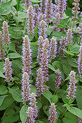 Blue Fortune Anise Hyssop (Agastache 'Blue Fortune') at Frisella Nursery