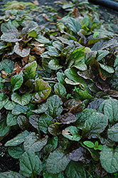 Bronze Beauty Bugleweed (Ajuga reptans 'Bronze Beauty') at Frisella Nursery