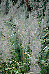 Korean Reed Grass (Calamagrostis brachytricha) at Frisella Nursery