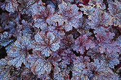 Plum Pudding Coral Bells (Heuchera 'Plum Pudding') at Frisella Nursery