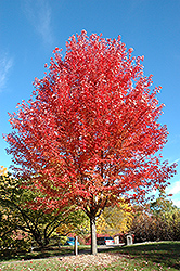 Autumn Blaze Maple (Acer x freemanii 'Jeffersred') at Frisella Nursery