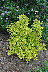 Golden Spirit Smokebush (Cotinus coggygria 'Golden Spirit') at Frisella Nursery