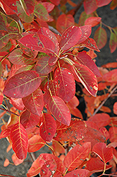 Autumn Brilliance Serviceberry (Amelanchier x grandiflora 'Autumn Brilliance') at Frisella Nursery