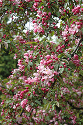 Indian Summer Flowering Crab (Malus 'Indian Summer') at Frisella Nursery
