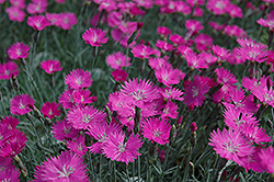 Firewitch Pinks (Dianthus gratianopolitanus 'Firewitch') at Frisella Nursery