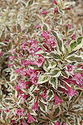 My Monet® Weigela (Weigela florida 'Verweig') at Frisella Nursery
