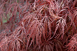 Crimson Queen Japanese Maple (Acer palmatum 'Crimson Queen') at Frisella Nursery