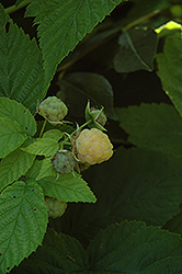 All Gold Raspberry (Rubus 'All Gold') at Frisella Nursery