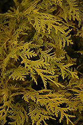 Vintage Gold Dwarf Moss Falsecypress (Chamaecyparis pisifera 'Vintage Gold') at Frisella Nursery