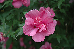 Lucy Rose Of Sharon (Hibiscus syriacus 'Lucy') at Frisella Nursery