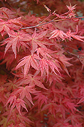 Suminagashi Japanese Maple (Acer palmatum 'Suminagashi') at Frisella Nursery