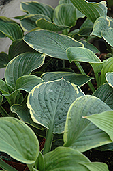 Christmas Tree Hosta (Hosta 'Christmas Tree') at Frisella Nursery