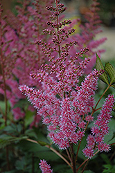 Maggie Daley Astilbe (Astilbe chinensis 'Maggie Daley') at Frisella Nursery