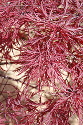 Red Dragon Japanese Maple (Acer palmatum 'Red Dragon') at Frisella Nursery