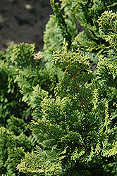 Well's Special Hinoki Falsecypress (Chamaecyparis obtusa 'Well's Special') at Frisella Nursery
