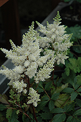 Younique White™ Astilbe (Astilbe 'Verswhite') at Frisella Nursery