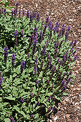Sensation Blue Meadow Sage (Salvia nemorosa 'Sensation Blue') at Frisella Nursery