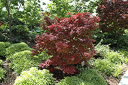 Adrians Compact Japanese Maple (Acer palmatum 'Adrian's Compact') at Frisella Nursery