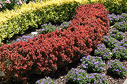 Royal Burgundy Japanese Barberry (Berberis thunbergii 'Gentry') at Frisella Nursery