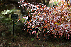 Hubb's Red Willow Japanese Maple (Acer palmatum 'Hubb's Red Willow') at Frisella Nursery