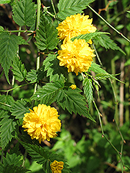Double Flowered Japanese Kerria (Kerria japonica 'Pleniflora') at Frisella Nursery