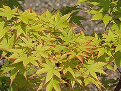 Coral Bark Japanese Maple Acer Palmatum Sango Kaku In