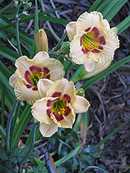 Canadian Border Patrol Daylily (Hemerocallis 'Canadian Border Patrol') at Frisella Nursery