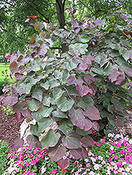 Forest Pansy Redbud (Cercis canadensis 'Forest Pansy') at Frisella Nursery