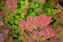 Sunjoy® Tangelo Japanese Barberry (Berberis thunbergii 'O'Byrne') at Frisella Nursery