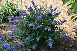 Lo And Behold® Blue Chip Dwarf Butterfly Bush (Buddleia 'Lo And Behold Blue Chip') at Frisella Nursery