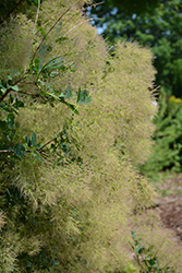 Young Lady Smokebush (Cotinus coggygria 'Young Lady') at Frisella Nursery