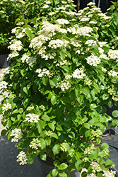 Autumn Jazz Viburnum (Viburnum dentatum 'Ralph Senior') at Frisella Nursery
