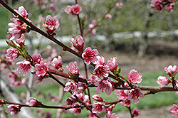 Reliance Peach (Prunus persica 'Reliance') at Frisella Nursery
