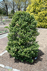 Schwoebel's Upright Japanese Holly (Ilex crenata 'Schwoebel Upright') at Frisella Nursery