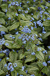 Silver Heart Bugloss (Brunnera macrophylla 'Silver Heart') at Frisella Nursery