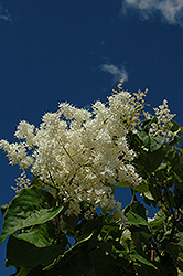 Ivory Pillar Japanese Tree Lilac (Syringa reticulata 'Willamette') at Frisella Nursery