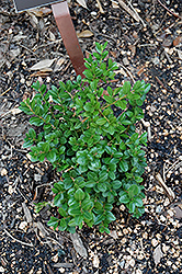 Little Missy Boxwood (Buxus microphylla 'Little Missy') at Frisella Nursery