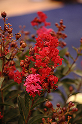 Enduring Summer™ Red Crapemyrtle (Lagerstroemia 'PIILAG B5') at Frisella Nursery
