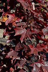 Crimson Sunset Maple (Acer 'JFS-KW202') at Frisella Nursery