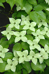 Milky Way Chinese Dogwood (Cornus kousa 'Milky Way') at Frisella Nursery