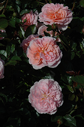 Apricot Drift® Rose (Rosa 'Meimirrote') at Frisella Nursery