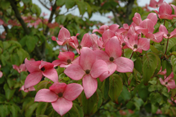 Red Flowering Dogwood (Cornus florida 'var. rubra') at Frisella Nursery