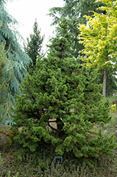 Green Knight Dwarf Cedar of Lebanon (Cedrus libani 'Green Knight') at Frisella Nursery